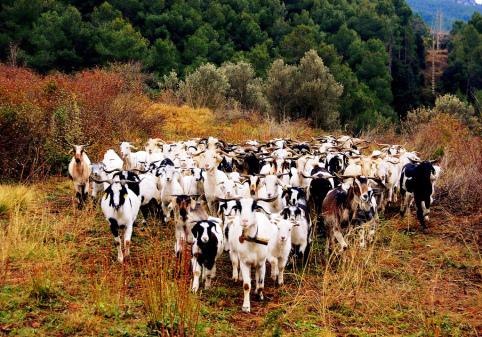 Ramat de cabres