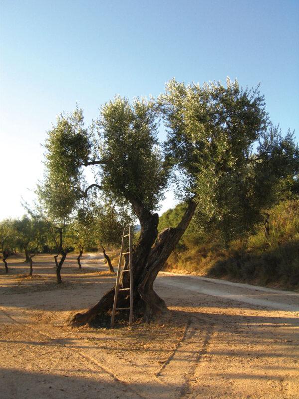 Entre olivers*